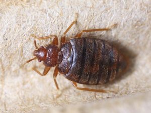 Bed Bugs Pest Control Springfield MA