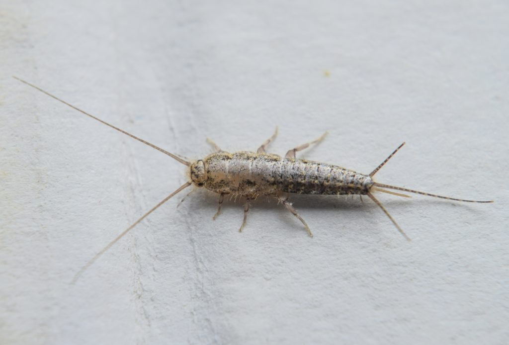 How To Get Rid Of Silverfish In House Uk