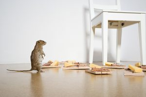 mouse in home looking at snap traps, rodent control techniques